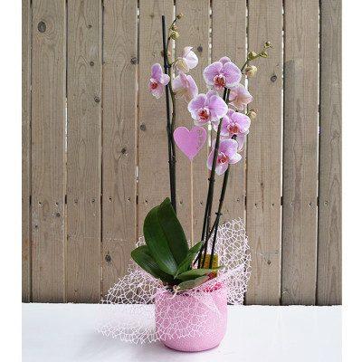 Phaleanopsis rosa en base cerámica rosa