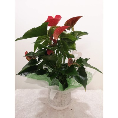 Anthurium en base de ceràmica