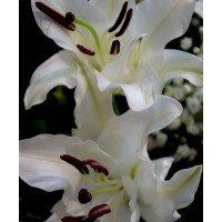 Ram de lilium blanc