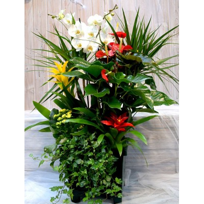 Squared base with anthurium,Phaleanopsis, guzmania, kalanchoe