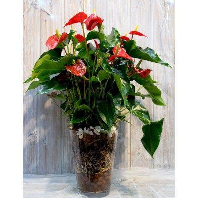 Vase anthurium and decorative stones