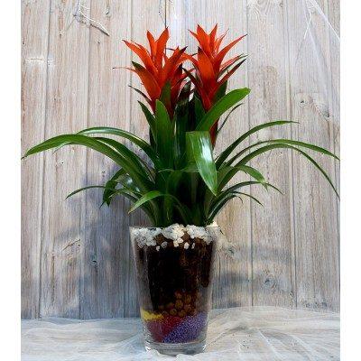 Vase of 3 guzmanies