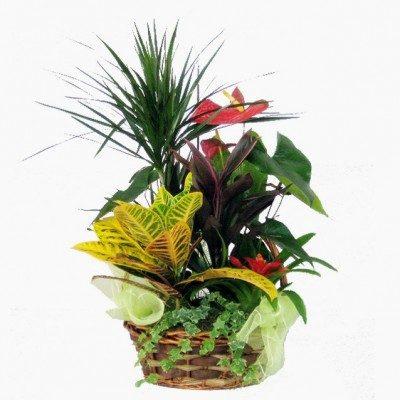 Composición de plantas con dracena