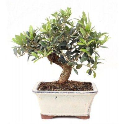 Olive tree (Olea europea)