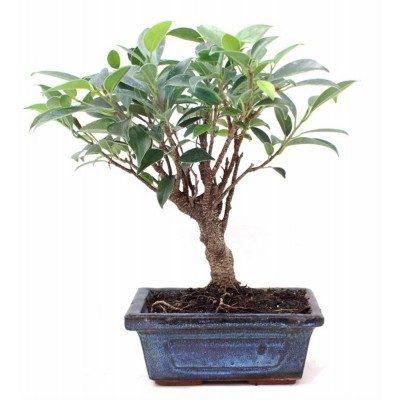 Comprar Ficus retusa Barcelona