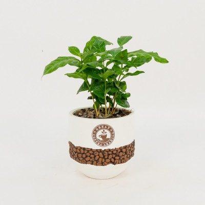 Comprar Planta del cafè aràbic Barcelona