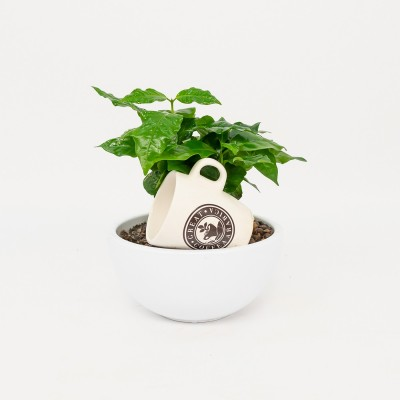 Arabic coffe plant