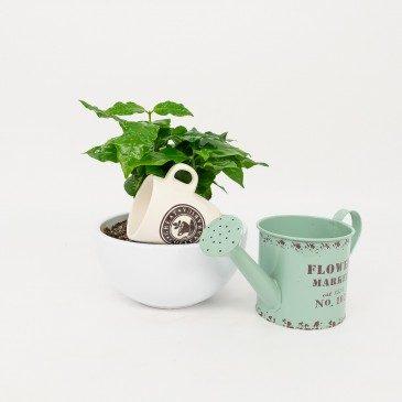Comprar Planta del café Arábico Barcelona