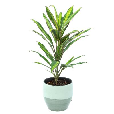 Cordelyne green