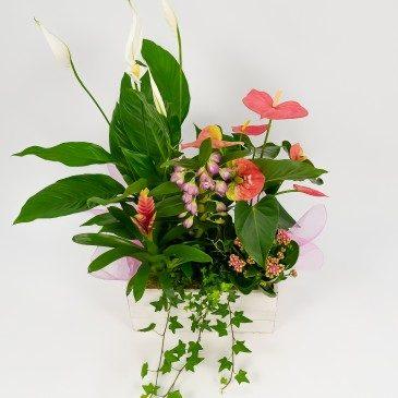 Comprar Grup de plantes Victoria Barcelona