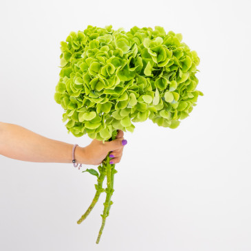 Comprar Hortensias verdes Barcelona