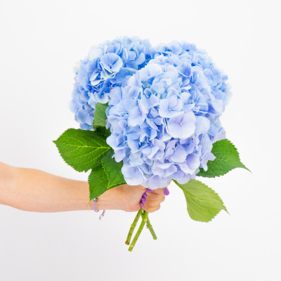 Comprar Hortensias azules Barcelona