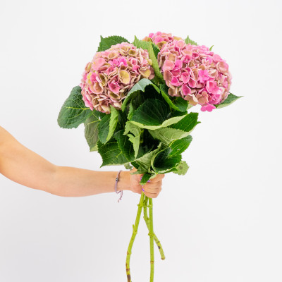 Pink hydrangeas XL