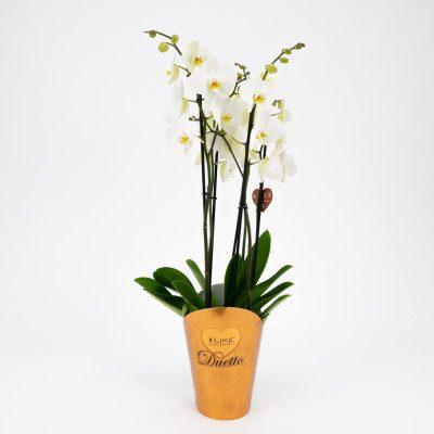 Comprar Phalaenopsis deluxe Barcelona