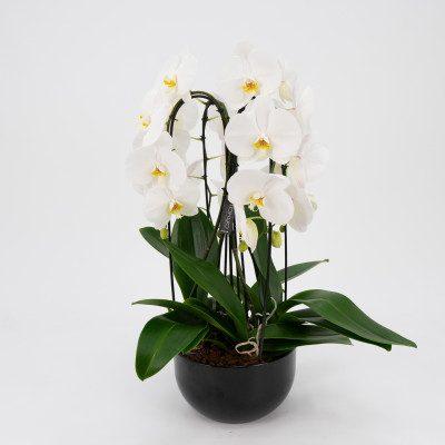 Cascada de phalaenopsis